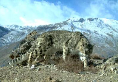 Barfali Cheetah